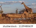 the giraffe is drinking water.... | Shutterstock . vector #1139480639