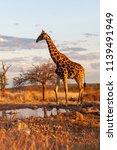 the giraffe is standing near... | Shutterstock . vector #1139491949