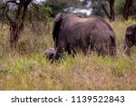 an elephant herd grazing in... | Shutterstock . vector #1139522843
