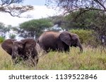 an elephant herd grazing in... | Shutterstock . vector #1139522846