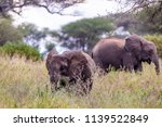 an elephant herd grazing in... | Shutterstock . vector #1139522849