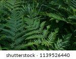 a fern in a summer forest on a... | Shutterstock . vector #1139526440
