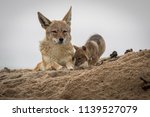 a mother jackal with its new...   Shutterstock . vector #1139527079