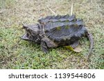 Alligator Snapping Turtle On...