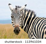 Closeup On Beautiful Zebra's...