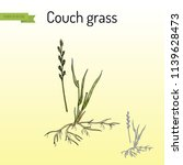 Couch Grass  Elymus Repens  Or...