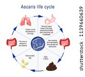 ascaris life cycle.  the arrows ...   Shutterstock .eps vector #1139660639