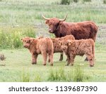 Scottish Highland Cattle With...