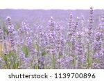 fieold of lavender  lavandula... | Shutterstock . vector #1139700896