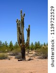 ancient and old saguaro cactus... | Shutterstock . vector #1139722529