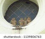 young common kestrel  falco... | Shutterstock . vector #1139806763