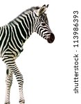 Stock photo new born baby zebra isolated on white 113986393