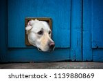 Stock photo head of labrador dog sticking through cat flap 1139880869