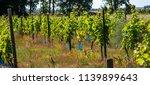 vineyard in sweden a sunny... | Shutterstock . vector #1139899643