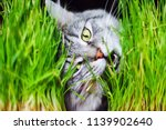 Gray Tabby Lovely Fluffy Cat...