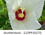 Swamp Rose Mallow Hibiscus.