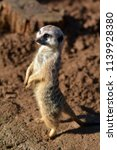 above view of meerkat suricata... | Shutterstock . vector #1139928380