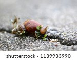 big snail in shell crawling on... | Shutterstock . vector #1139933990