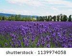 lavender field bright purple... | Shutterstock . vector #1139974058