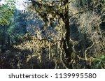growing moss on trees | Shutterstock . vector #1139995580