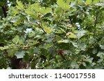 oak green backgrund natural  | Shutterstock . vector #1140017558