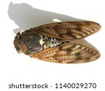 large brown cicada | Shutterstock . vector #1140029270