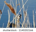 male reed bunting on reed   Shutterstock . vector #1140202166