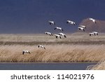 Ross\'s Geese In Flight Against...