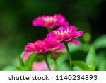 pink zinnia flower in garden.   ... | Shutterstock . vector #1140234893