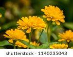 yellow zinnia flower in garden. ... | Shutterstock . vector #1140235043