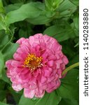 red and pink and white zinnia... | Shutterstock . vector #1140283880