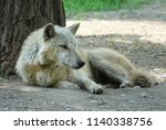 wolf grey wild animal canis... | Shutterstock . vector #1140338756