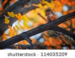 Squirrel Eat Nuts On Branch Of...