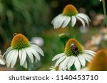 white echinacea flower in a... | Shutterstock . vector #1140453710