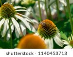 white echinacea flower in a... | Shutterstock . vector #1140453713