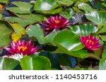 flower of a rubra water lilly... | Shutterstock . vector #1140453716