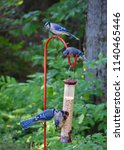 blue jay  cyanocitta cristata ... | Shutterstock . vector #1140465446
