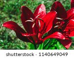 red lily flower with drops of... | Shutterstock . vector #1140649049