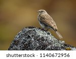 new zealand pipit   anthus... | Shutterstock . vector #1140672956