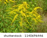 Small photo of Close up of the blooming yellow inflorescence of Solidago canadensis, known as Canada goldenrod or Canadian goldenrod. Poland, Europe