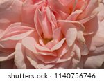 pink  camellias flowers | Shutterstock . vector #1140756746