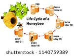 life cycle of a honeybee... | Shutterstock .eps vector #1140759389