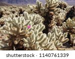 Cylindropuntia Echinocarpa...