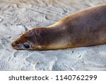 baby galapagos sea lion on...   Shutterstock . vector #1140762299
