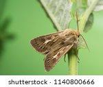 Antler moth, Cerapteryx graminis on plant