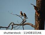 american kestrel couple...   Shutterstock . vector #1140810146