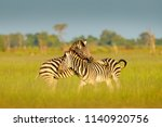 Zebras Playing In The Savannah...