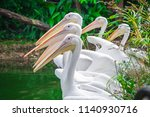 Group Of White Pelicans Loafin...