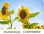 two sunflower's heads on a... | Shutterstock . vector #1140958850