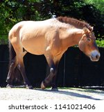 przewalski's horse or... | Shutterstock . vector #1141021406